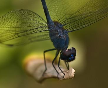 Blue Dragonfly-8450