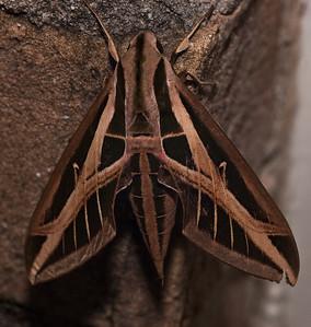 Sphinx moth-0459