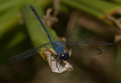 Blue Dragonfly-8466