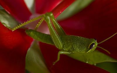 grasshopper-8135
