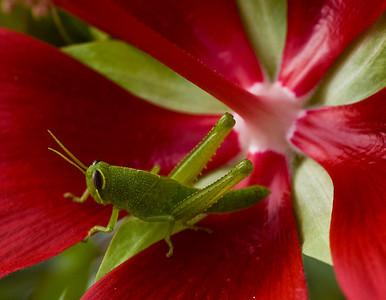 grasshopper-8138