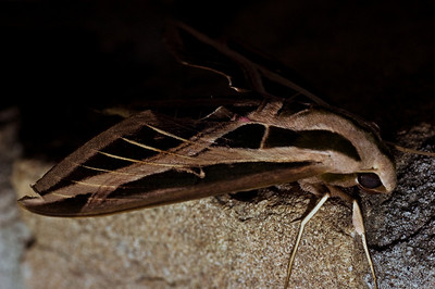 Sphinx moth-0466