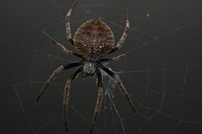 Garden Orb Spider-9038-2