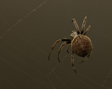Garden Orb Spider-9006