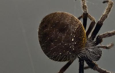 Garden Orb Spider-9032