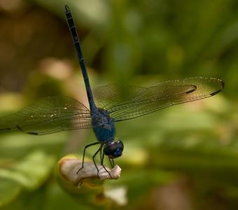 Blue Dragonfly-8460