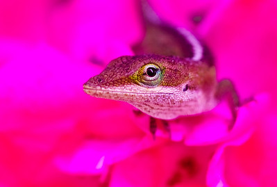 Lizard in the Rose-1741