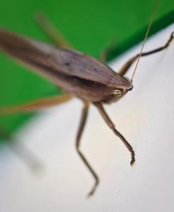 grasshopper-5471