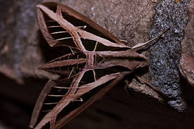 Sphinx moth-0457