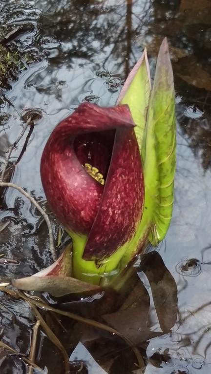 Colorful Skunk Cabbage