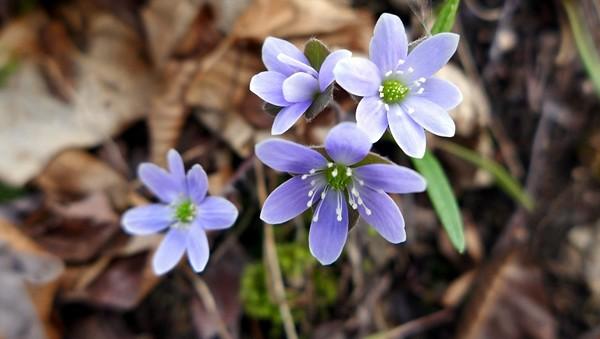 Spring Blooming Hepatica