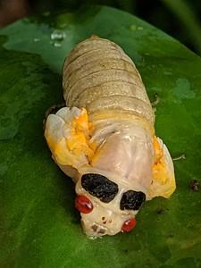 17-Year Cicada Emerging