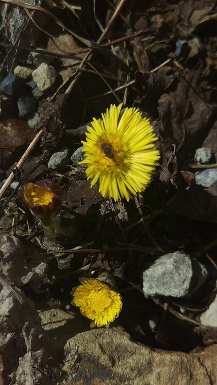 Coltsfoot in Bloom - February 26, 2018