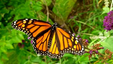 Monarch Populations on the Rise?