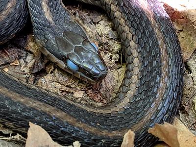 Pre-shed Garter Snake