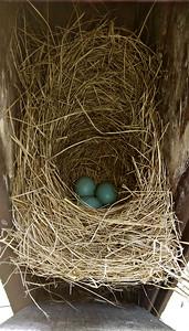 Bluebird Nest