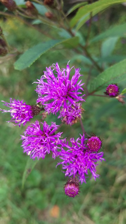By September the purple flowers of the Ironweed  take over the meadows in parks
