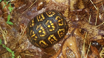 By mid-May Box Turtles have started to move and can be seen crossing our rural roads, especially on rainy days. This turtle was a young male Box Turtle found crossing Blue Spruce Road.