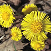 Coltsfoot Blooming