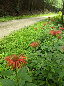 Bee Balm on the Rexis Branch