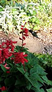 Hummingbirds Love Red Salvia