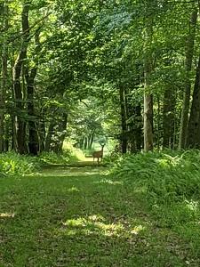 BVNA Deer on Trail