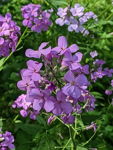 Dame's Rocket - A Pretty Invasive?