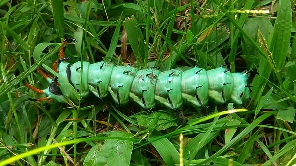 Hemlock Hornbeam Caterpillar