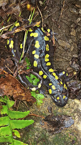 Female Spotted Salamander