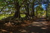 Moreton Bay Fig Trees, Norfolk Island