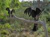 Tasmanian Bushland Garden - Buckland, Tasmania<br /> Currawong sculptures by Sally Brown