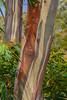 Tree bark - Cradle Mountain, Tasmania