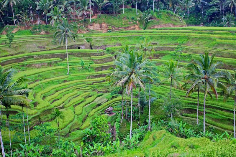 Rice Paddy - Bali