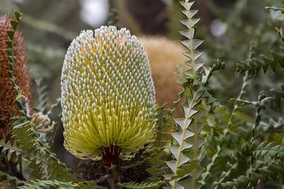 Banksia - Esperance, Western Australia