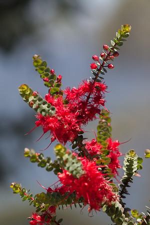 Flora - Kings Park, Western Australia