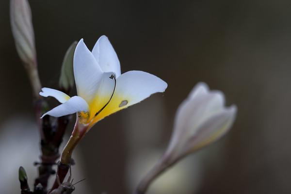 Frangipani - Laura, Queensland