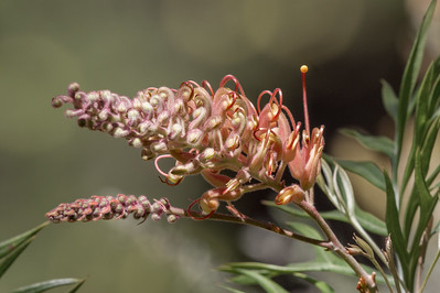Grevillea - Pemberton, Western Australia