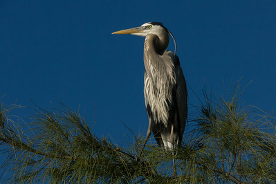 Blue heron details on pine branch, against deep blue sky background.