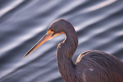 Blue heron details against water background.