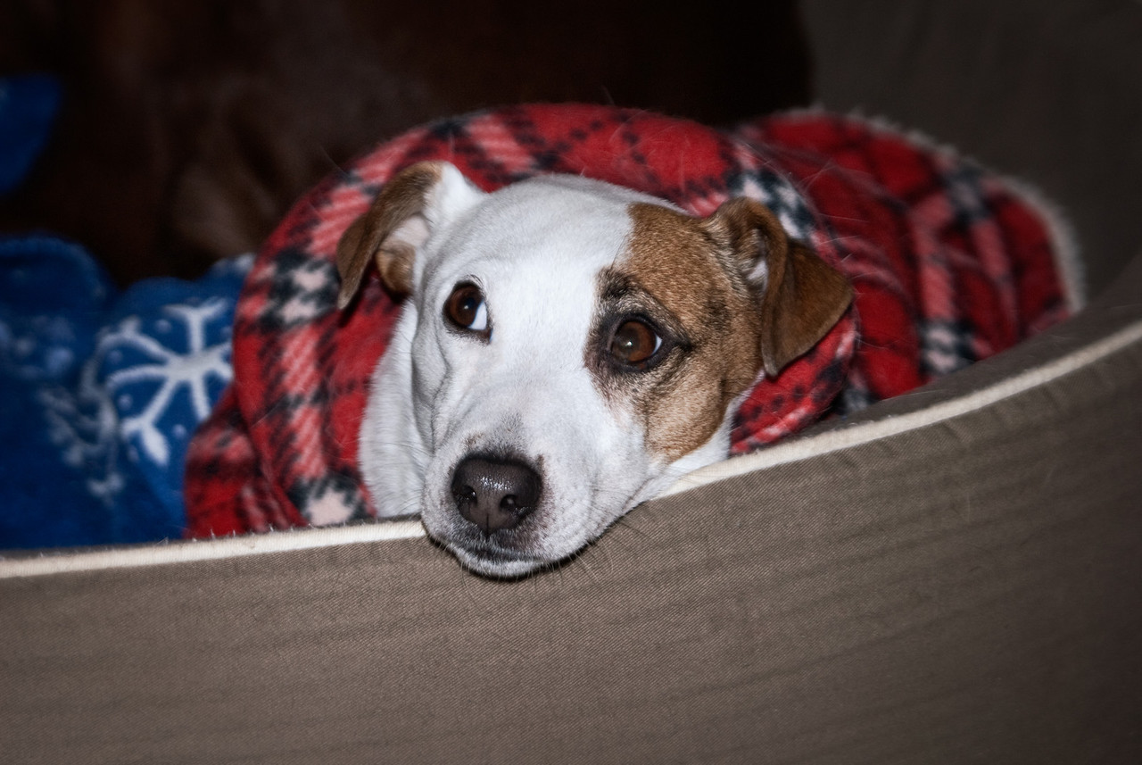 Jack Russel terrier all cozy in his/her bed in winter.