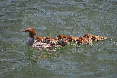 Merganser mommy & her chicks swimming in Lake Winnipesaukee, several are riding upon her back as she swims.  The others try to keep up.