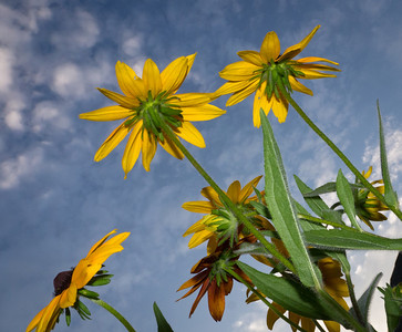 Black-eyed Susans shot from below, looking up into a blue sky.