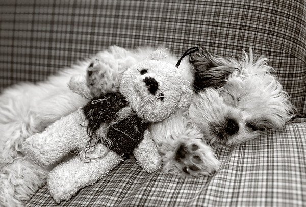 Dog sleeps on couch beside her look-alike teddy bear, who's obviously well-loved.