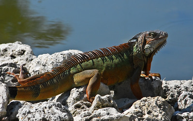 Stegasaurus-like Iguana