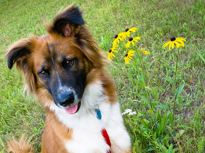 Young Boder collie poses beside flowers in summer.