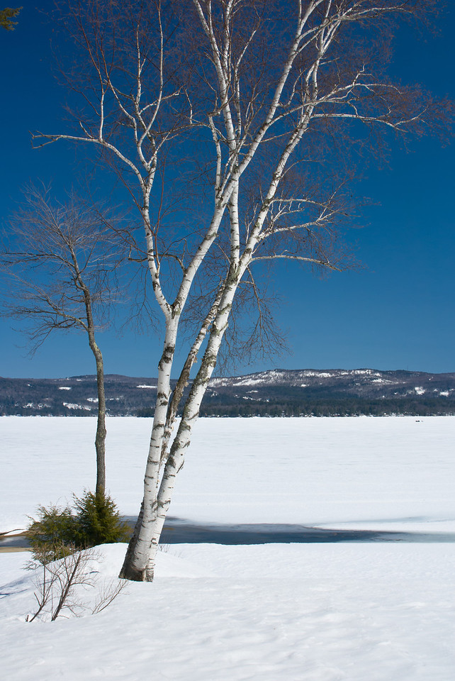 Birch tree along shore of frozen Newfound Lake in winter.