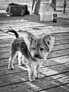 Cute little dog on wooden fishing pier, with strong backlight highlighting his fur.