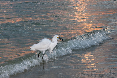A Snowy Egret in the surf at sunset with his catch, Sanibel Island, FL.