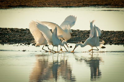 Egrets in a scuffle over a shrimp one of them has just caught, wings outstretched.