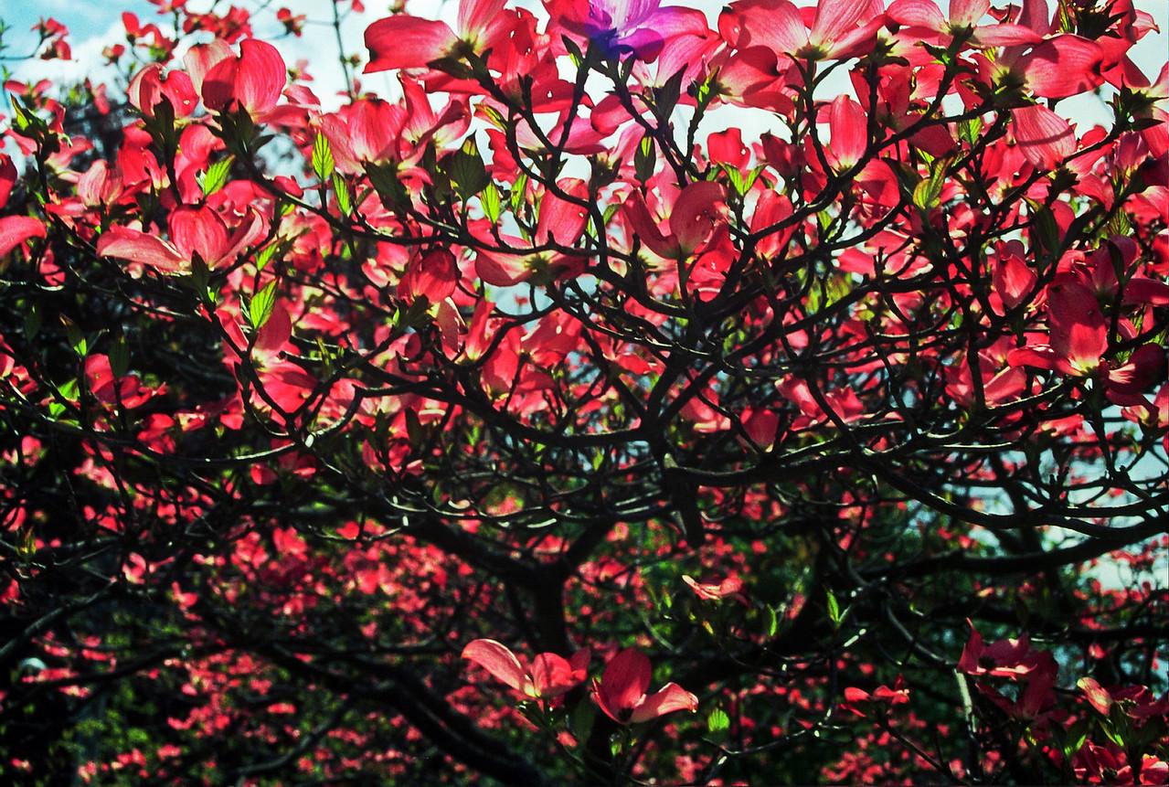 Flowering tree in spring viewed from below, with sunlight seen through petals, Hingham, MA.
